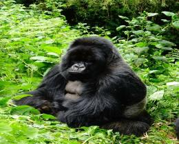 3 DAYS GORILLA TRECKING